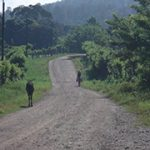 Dirt road with cow and man walking in Central America